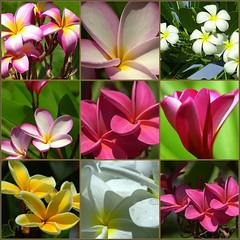 Sweet Aloha Plumeria (ONE/MILLION) Tags: pictures ocean travel flowers light vacation cactus people plants mountains cute london love nature water colors animals tattoo cowboys landscape outdoors zoo hawaii photo interestingness search hit interesting fdsflickrtoys rust funny colorful flickr shadows plumeria sweet antique wildlife blossoms mother rusty favorites tags flags best lei explore unusual variety blooms aloha find sets lawenforcement journalism eyecatcher onemillion williestark
