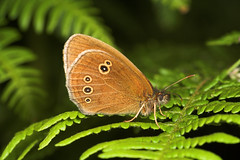 "Ringlet Butterfly (aphantopus hyperan(2) • <a style=""font-size:0.8em;"" href=""http://www.flickr.com/photos/57024565@N00/182483839/"" target=""_blank"">View on Flickr</a>"
