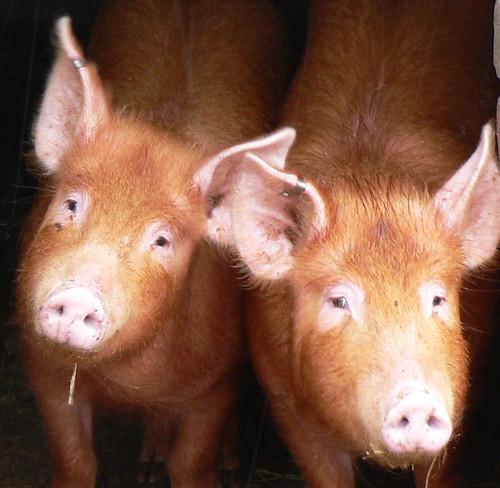 พัฒนาสุกรพันธุ์ ผลิตน้ำเชื้อแช่แข็งคุณภาพส่งออก pigs crop