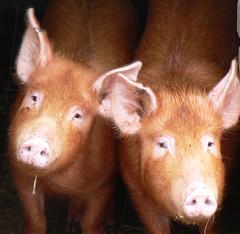 pigs_crop