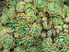 Echeveria Crassulaceae (brewbooks) Tags: newzealand garden succulent paloma northisland plantae crassulaceae echeveria saxifragales