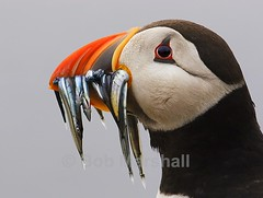 Atlantic Puffin with Sand Eels (Fratercula Arctica) (Bob Marshall 1) Tags: uk sea fish bird water birds islands sand quality atlantic northumbria bm puffin farne eels arctica fratercula atlanticpuffin fraterculaarctica interestingness12 i500 specnature specanimal animalkingdomelite