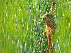 hiding place (Marko_K) Tags: animals top20favorites top20animalpix hare 10faves specnature 1on1naturephotooftheday