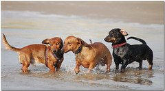 The Wildbunch... So Happy Together.... (Buikschuivers) Tags: beach dogs alex goofy sam zee dachshund maasvlakte teckel teckels buikschuivers