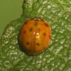 """10-Spot Ladybird (adalia 10-punctata)(1) • <a style=""""font-size:0.8em;"""" href=""""http://www.flickr.com/photos/57024565@N00/192519879/"""" target=""""_blank"""">View on Flickr</a>"""