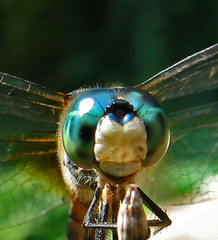 At the Mic (pauly...) Tags: macro closeup bug insect eyes dragonfly turquoise amiko bicho insecto views600 apexmacro darningneedle animalkingdomelite fcdf bugdirectoryblog macrophotosnolimits