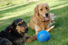Sharing the chew stick (lawatha) Tags: dog dogs goldenretriever ball casey annie rest resting playtime