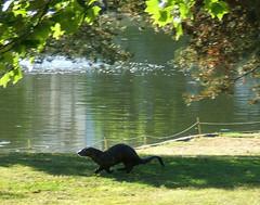 Otter Fun! (shesnuckinfuts) Tags: otters backyardpond kentwa otterfamily shesnuckinfuts
