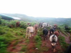 And more cows (Sahar M) Tags: trip bamenda
