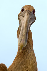 Demon Duck of Doom (key lime pie yumyum) Tags: bird for duck pelican just savedbythedeltemeuncensoredgroup stevieb verybigbirdsmorelikeducksearnedthenamedemonducksofdoomsomeatleastmayhavebeencarnivorous