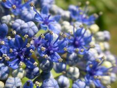 Hydrangea (noahg.) Tags: flower yellow purple bokeh buds hydrangea sanyoc6 noahbulgaria bokehsoniceaugust bokehsoniceaugust04
