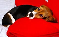 Max esperando a su duea (Anita) (Jesus Guzman-Moya) Tags: dog max beagle mxico mexico interestingness perro r1 puebla babel dscr1 thecontinuum i500 500i sonycybershotdscr1 chuchogm newphotographer jessguzmnmoya