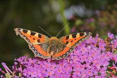 """Small Tortoiseshell Butterfly (aglais(1) • <a style=""""font-size:0.8em;"""" href=""""http://www.flickr.com/photos/57024565@N00/207181517/"""" target=""""_blank"""">View on Flickr</a>"""