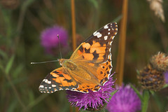 "Painted Lady Butterfly (vanessa cardu(3) • <a style=""font-size:0.8em;"" href=""http://www.flickr.com/photos/57024565@N00/207181683/"" target=""_blank"">View on Flickr</a>"