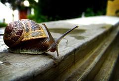 R ● U ● L O O K I N ' ● @ ● M E ? (Luis F Franco) Tags: life animal snail caracol 85points i500