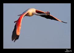 Flamenco comn (Phoenicopterus ruber) (Juan Carlos Cruz - masquefotos) Tags: naturaleza bird quality huelva aves hide greaterflamingo phoenicopterusroseus flamenco 100club 100vistas 50club specanimal