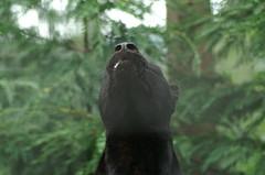 Black Panther (tim ellis) Tags: black animal cat leopard panther carnivore santago