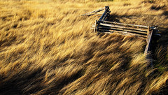 Flying fence in a sea of fescue. (gallow_chris) Tags: wood old travel chris light sun ontario canada nature topf25 grass fence golf landscape golden nikon scenery natural dusk earth wheat scenic course environment terra soe warth ferma fescue gallow spselection nikoncapturenx bondhead aplusphoto chrisgallow allrightsarereserved