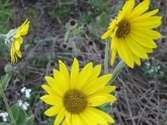 ASHY SUNFLOWER (kentplants) Tags: garden 8906