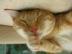 EPSN6243 (jacky elin) Tags: orange cats cat mix tabby lin