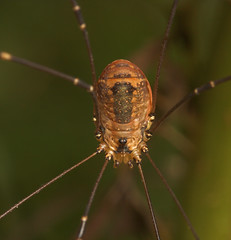 "Harvestman(2) • <a style=""font-size:0.8em;"" href=""http://www.flickr.com/photos/57024565@N00/218612400/"" target=""_blank"">View on Flickr</a>"