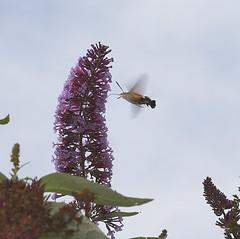 "Hummingbird Hawkmoth (macroglossum st(2) • <a style=""font-size:0.8em;"" href=""http://www.flickr.com/photos/57024565@N00/220174038/"" target=""_blank"">View on Flickr</a>"