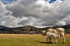 Fresh Milk ([ chang ]) Tags: italy cloud mountain nature grass animal cow milk italia nuvole nuvola cows mother fresh pasture latte mucca fresco animali animale mothernature mucche pascolo madrenatura racino abigfave wwwriccardoromanocom