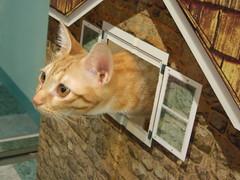 EPSN6524 (jacky elin) Tags: orange cats cat kitten tabby miumiu
