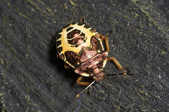 """Instar of a shieldbug • <a style=""""font-size:0.8em;"""" href=""""http://www.flickr.com/photos/57024565@N00/223061484/"""" target=""""_blank"""">View on Flickr</a>"""