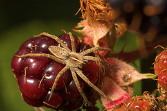 """Spider on a berry(1) • <a style=""""font-size:0.8em;"""" href=""""http://www.flickr.com/photos/57024565@N00/225163953/"""" target=""""_blank"""">View on Flickr</a>"""