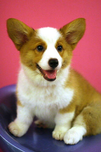 cardigan welsh corgi puppies. Welsh Pembroke Corgi Puppy