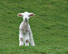 Spring Lamb (EssjayNZ) Tags: newzealand baby green grass tag3 taggedout 1025fav 510fav tag2 tag1 sheep little 2006 lamb fields essjaynz woolly 999v9f interestingness49 20faves taken2006 i500 sarahmacmillan