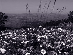 dark, sacred night (alight) Tags: light bw lebanon night daisies hope stones deep bloom despair yinyang louisarmstrong alight dayfornight whatawonderfulworld lifesongs darksacrednight mysongsincechildhood lovethankstojamesblainetilly andlulumynightlight stilltrusting thatthislongnightissacred