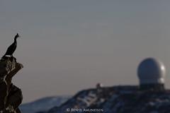 IMG_7205 (bente amundsen) Tags: finnmark hornøya vardø alke fuglefjell fyrlykt jaktfalk krykkje lomvi lundefugl skarv toppskarv