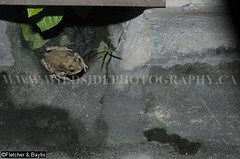 38255 Common Sunda toad (Duttaphrynus melanostictus) sequence in a house drain at night, Ipoh, Perak, Malaysia. (K Fletcher & D Baylis) Tags: animal fauna night asia nocturnal wildlife amphibian toad malaysia urbanwildlife ipoh perak gardenwildlife commontoad cameratrap bufomelanostictus leastconcern duttaphrynusmelanostictus commonasiantoad commonsundatoad august2015