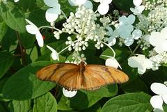Brookfield, IL, Brookfield Zoo, Julia Butterfly (Mary Warren (6.7+ Million Views)) Tags: orange fauna butterfly brookfieldzoo juliabutterfly brookfieldil