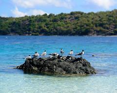 USVI Summer Vacation 2015-11.jpg (MudflapDC) Tags: vacation beach birds gulls stjohn stthomas kokibeach virginislands usvi