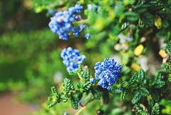 (ShannonElisabeth) Tags: sanfrancisco flowers blue vacation plant flower nature nikon pretty raw purple lilac mothernature californialilac rawimage nikon200