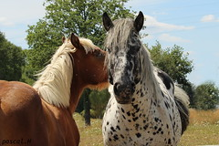 cheval (rascal76160) Tags: animal cheval prairie mouche