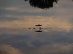 Un hron dans la Loire (Hlne_D) Tags: sunset france bird heron river rivire bourgogne loire oiseau coucherdesoleil fleuve hron nivre laloire cosnesurloire cosne burgundybourgogne cosnecourssurloire hlned bourgognectedornivresaneloireyonne