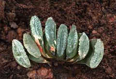 Haworthia 8 (scenescape-partners) Tags: cactus india plant succulent aloe nursery lithops euphorbia variegated agave haworthia cycas rare sansevieria gasteria zamia jatropha scenescape caudiciform monstrose encphalartos