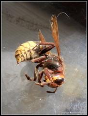 Tote Hornisse (Jolanda Donn) Tags: fauna juli echte wespen insekten hymenoptera insecta hornisse vespidae vespinae vespacrabro hautflgler lebensende faltenwespen vergngliches todesinsekt nikoncoolpixp610 juli2015 20150727