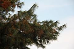 Autumn pine tree branch , Wrocaw 11.10.2015 (szogun000) Tags: sky plant tree nature pine canon flora branch poland polska wrocaw lowersilesia dolnolskie dolnylsk canoneos550d canonefs18135mmf3556is