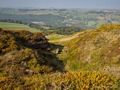 Western Gorse (Roger B.) Tags: unitedkingdom sheffield gorse southyorkshire ulex ulexgallii westerngorse spouthousehill