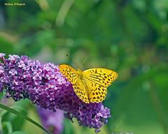 Argynnis Paphia (Darea62) Tags: argynnis paphia butterfly country flower animal fritillary silver washed buddleja orecchiella garfagnana