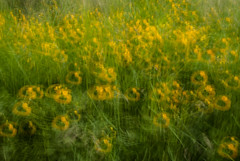 marsh marigold (szllva) Tags: abstract grass icm kingcup rougecloitre intentionalcameramovement