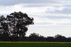 canola crops (katrinabrereton2015) Tags: landscape outdoor field sky cloud conola crop