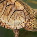 Razor-backed Musk Turtle, Hatchling