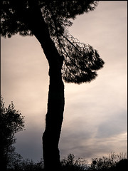 20151122-173 (sulamith.sallmann) Tags: italien trees italy plants plant rome roma tree silhouette europa pflanze pflanzen culture it kiefer bume rom baum scherenschnitt schattenriss latium nadelbaum pinie koniferen nadelbume sulamithsallmann nadelhlzer