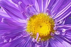 Purple beauty (dtroi17) Tags: summer flower yellow garden purple sommer lila gelb garten